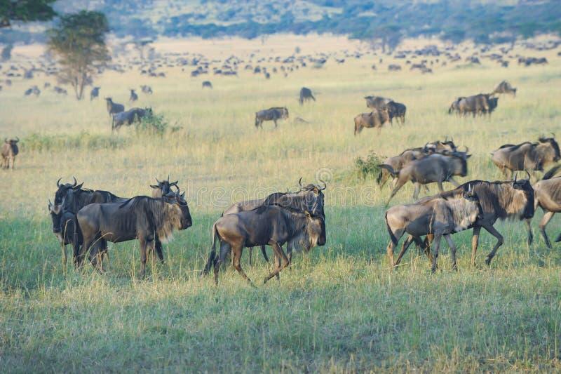 Gnu som betar i Serengeti, Tanzania, Afrika Flock av gnu i savann royaltyfria foton