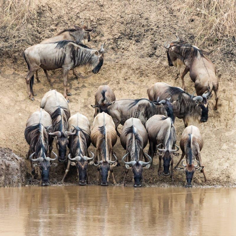 Gnu som dricker från Mara River royaltyfri foto