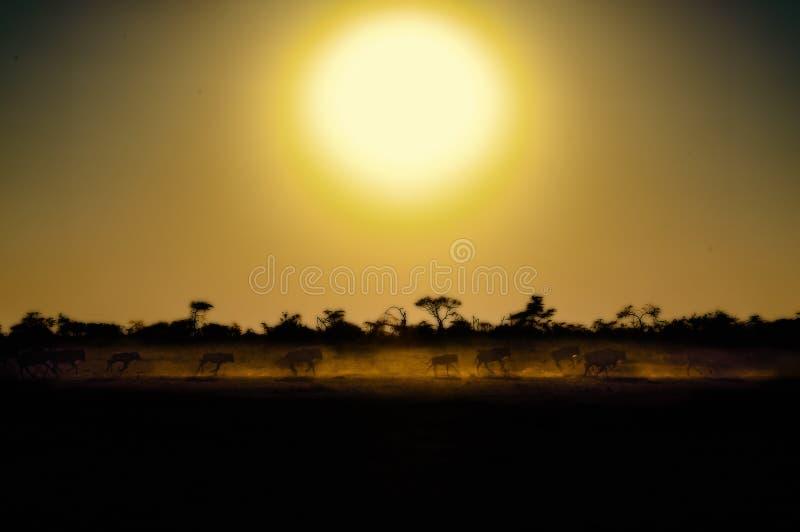 Gnu som kör på soluppgång under mörkergulinghimmel i Serengeti, stor flyttningstid på savannah i Tanzania, Afrika royaltyfria foton