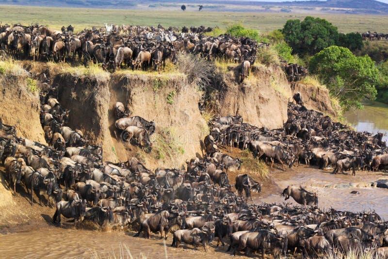 Gnu som korsar en flod - Safari Kenya royaltyfri foto