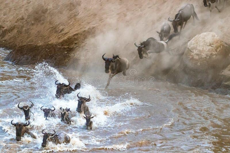 Gnu som korsar Mara River under den stora flyttningen arkivbilder