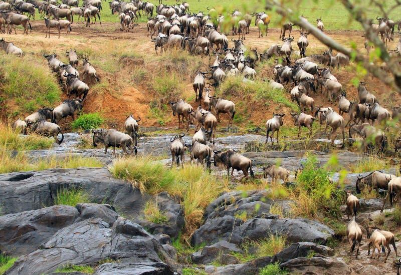 Gnu som precis har korsat Mara River i Kenya fotografering för bildbyråer