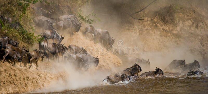 Gnubanhoppning in i Mara River stor flyttning kenya tanzania Masai Mara National Park arkivfoton