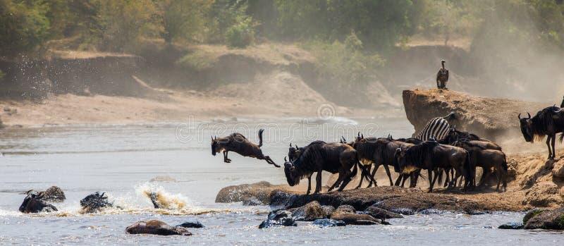 Gnubanhoppning in i Mara River stor flyttning kenya tanzania Masai Mara National Park arkivbild
