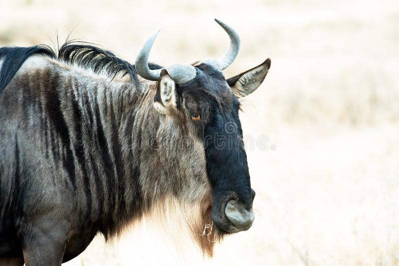 Gnuhuvud, closeup av gnu i savannah av Serengeti, Tanzania arkivfoto