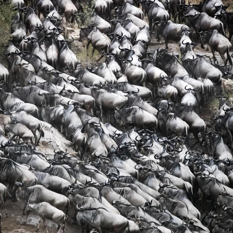 Gnujagd aus Mara River heraus lizenzfreie stockfotografie