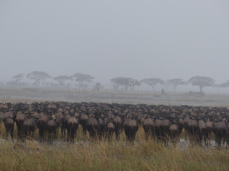 Gnus σε μια βροχερή ημέρα στο Serengeti στοκ εικόνα