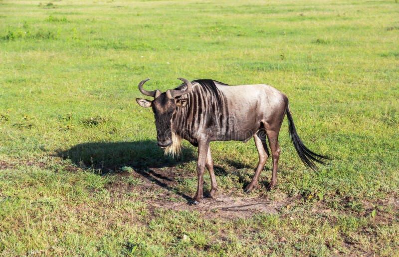 Gnus in Maasai Mara, Kenia lizenzfreie stockfotografie