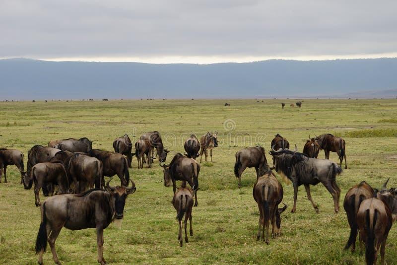 Gnus in Ngorongoro-krater, Tanzania stock fotografie