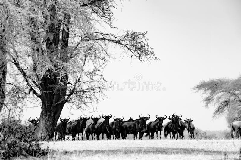 Lots of Wildebeest - Gnus under huge tree in Serengeti, Tanzania, black-and-white photography royalty free stock photos