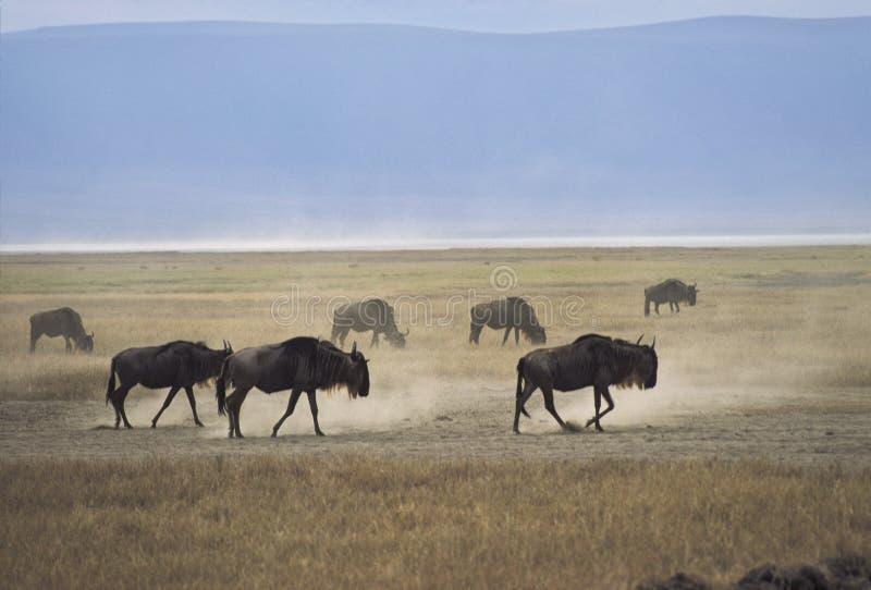 Gnus van Ngorongoro stock afbeelding