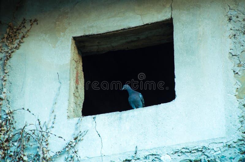 Gołąb na rujnującym okno zdjęcia royalty free
