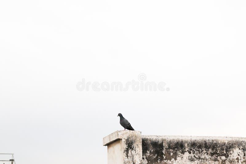 Gołębi ptasi obsiadanie na dachu stary budynek patrzeje białego niebo fotografia royalty free