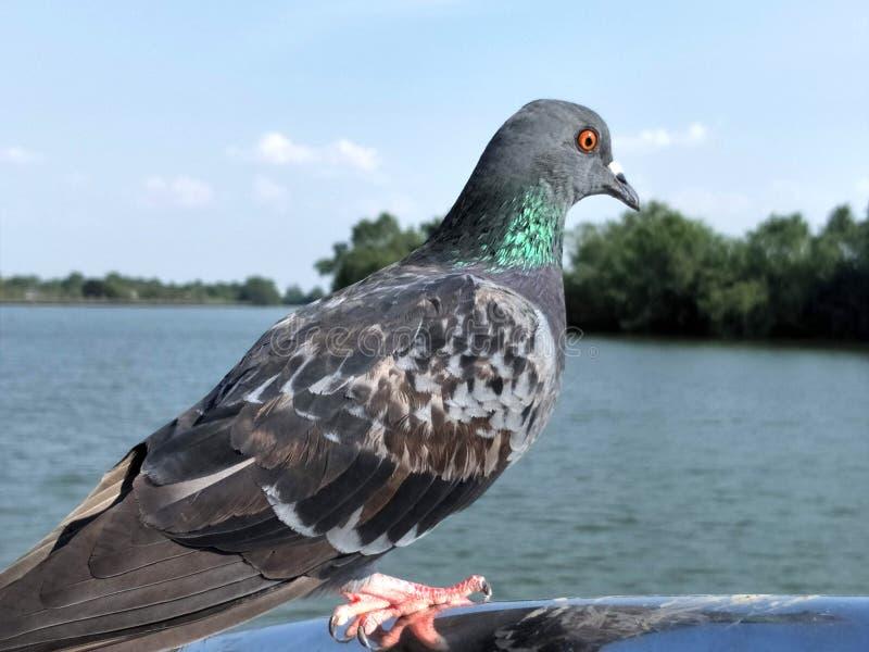 Gołębi stojaki na moście zdjęcie stock