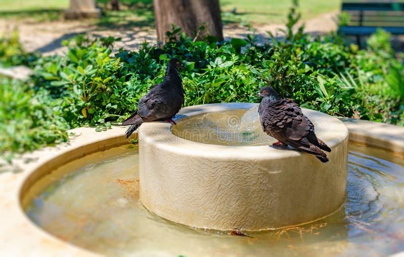 Gołębie kąpać w fontannie na gorącym letnim dniu zdjęcia royalty free