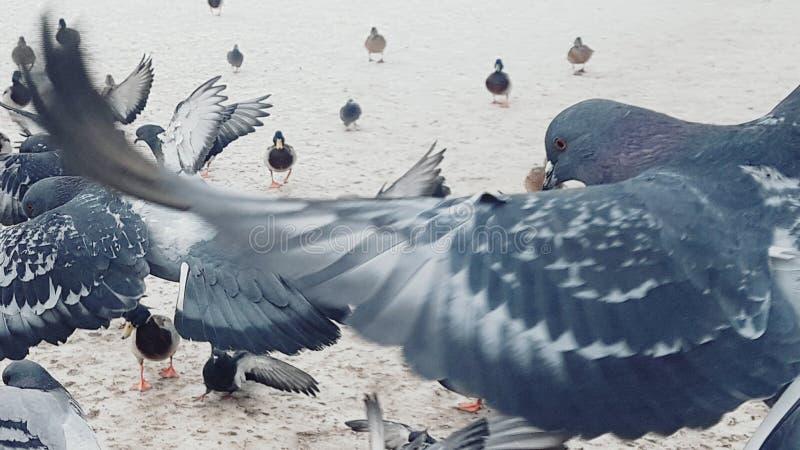 Gołębie w ich naturalnym siedlisku na tle rzeka w śniegu obrazy stock