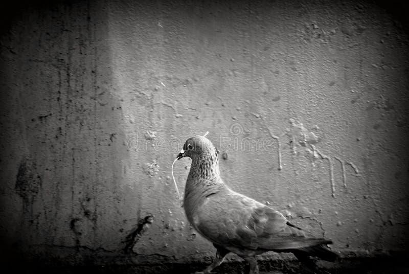 Gołąb fotografia stock