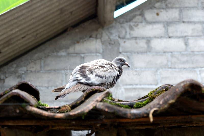 Gołąb nad dachówkowy ścienny tło obrazy stock