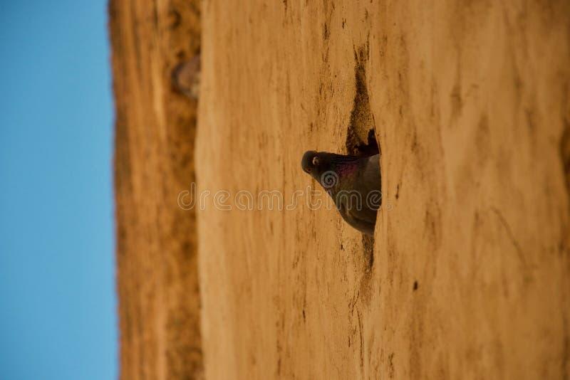 Gołąb ono przygląda się od dziury w ścianie zdjęcia stock
