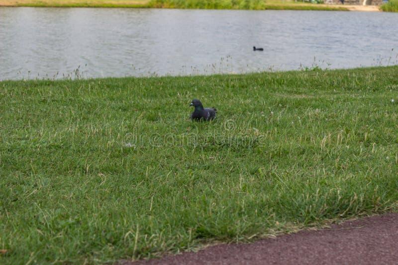 Gołąb przy jeziorem obraz stock