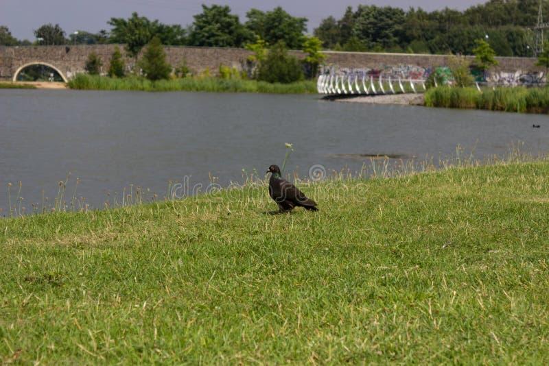 Gołąb przy jeziornym brzeg obraz royalty free