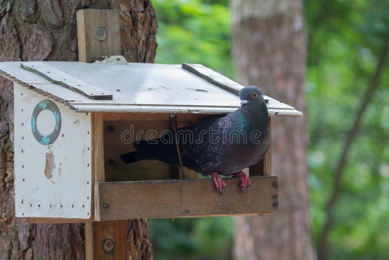 Gołąb siedzi na ptasim dozowniku w parku zdjęcie stock