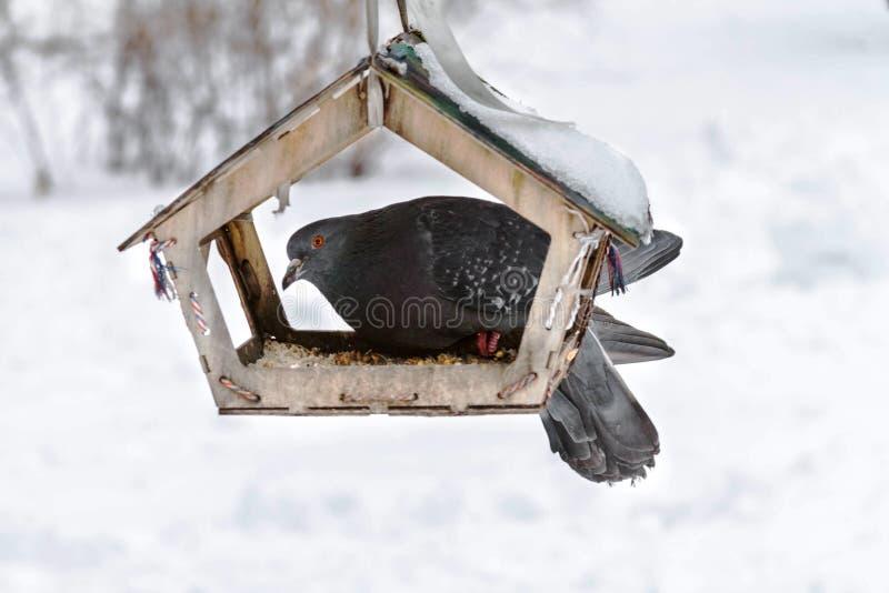 Gołąb siedzi na ptasim dozowniku w parku Zima obraz stock