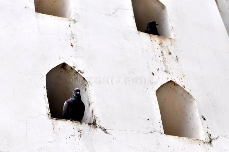 Gołąb w ścianie zdjęcie stock