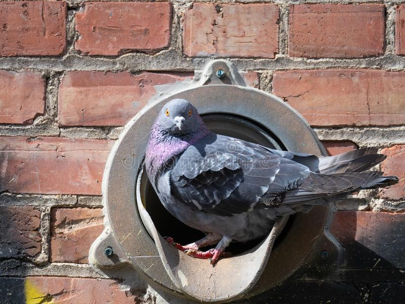 Gołąb w Rynsztokowej drymbie Pozuje dla kamery fotografia royalty free