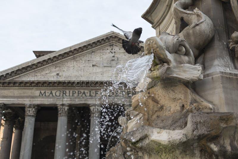 Gołąb zbliża się fontannę, przód panteon przy piazza della rotonda w Rome obrazy stock