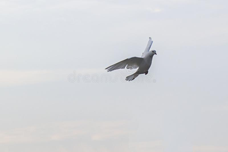 Gołąbka gołąb podczas lota zdjęcia stock