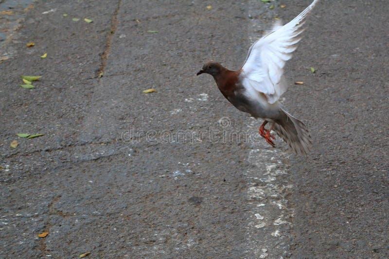 Gołąbka podnosi lot w powietrzu obraz stock