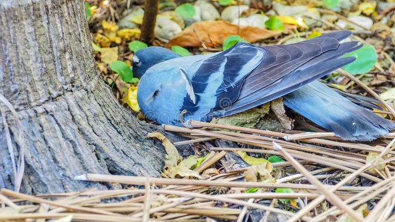 Gołąbka ptak dostać chorego obsiadanie pod drzewkiem palmowym na suchym liściu obrazy royalty free