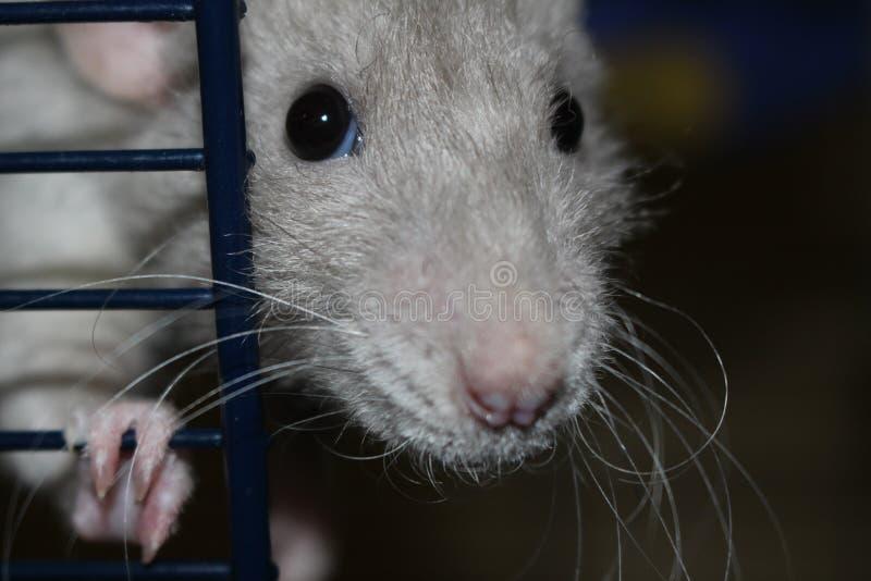 Gołąbka szczur w klatce fotografia royalty free