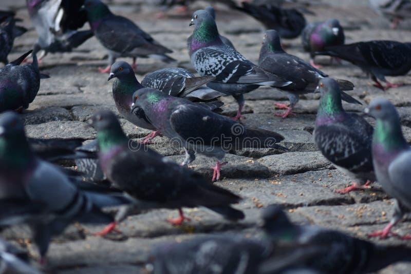 Gołąbki grupują na ulicie zdjęcia royalty free