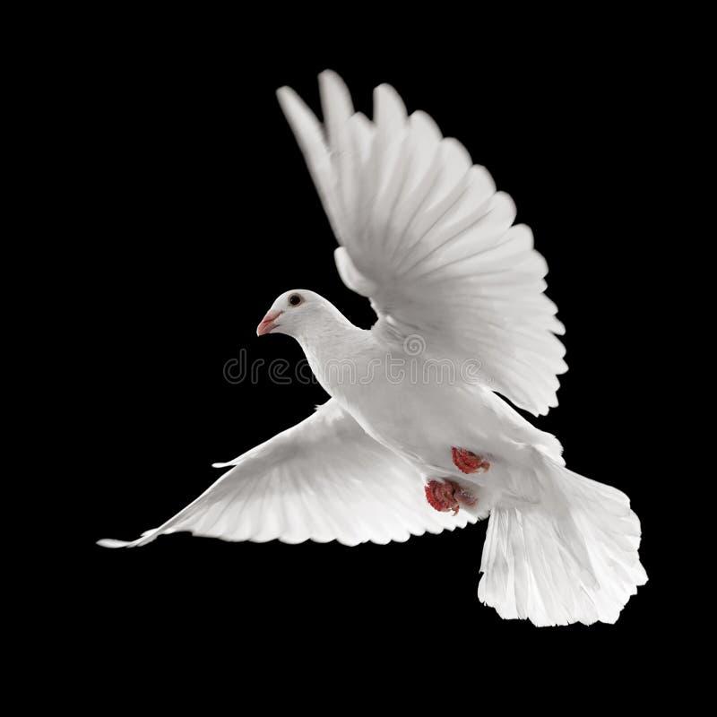 gołąbki lota biel zdjęcia royalty free
