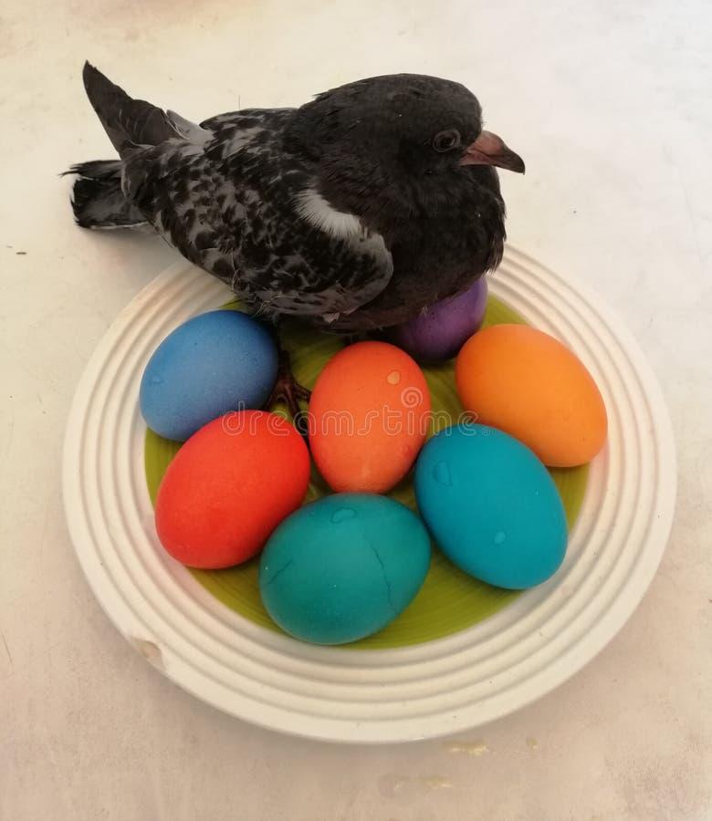 Gołębi kurczątko na jajkach fotografia royalty free