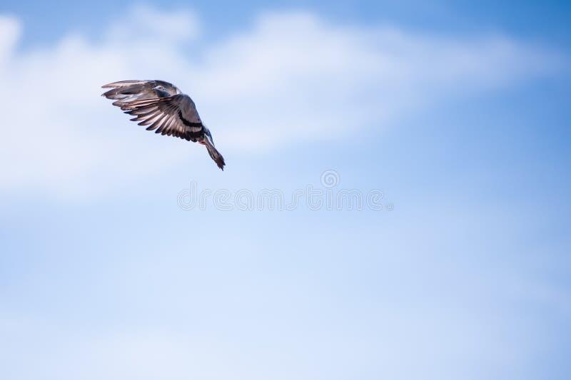 Gołębi latanie fotografia royalty free