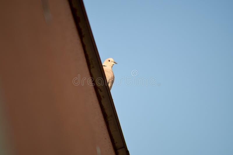 Gołębi obsiadanie na krawędzi budynku obrazy stock
