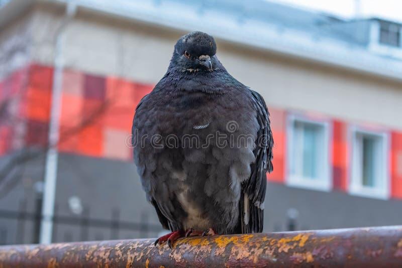 Gołębi obsiadanie na ośniedziałej ławce zdjęcie royalty free