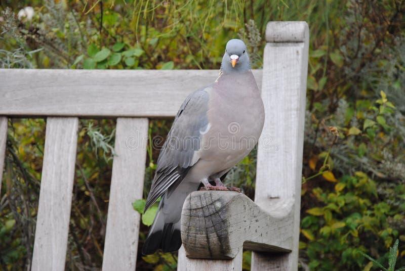Gołębi ptak w Hyde parku, Londyn zdjęcie royalty free