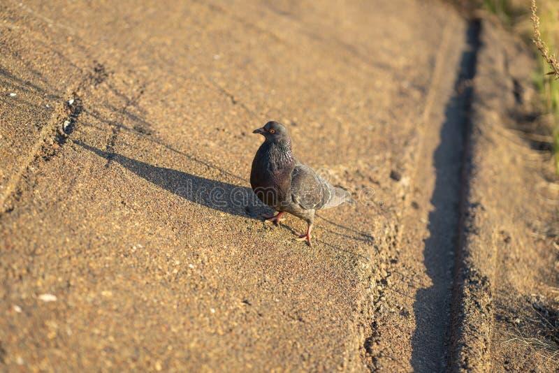 Gołębia pozycja pokojowo na betonie mieszającym z żwir płytkami przegapia otaczać ciepłego słońce na ciepłym i cieszyć się obraz stock