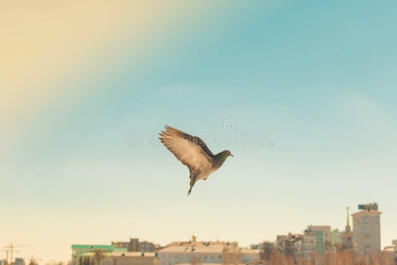 Gołębia ptak gołąbka lata nad miastem fotografia stock