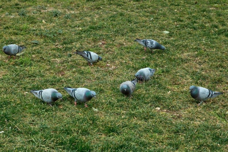 Gołębia spacer na zielonej trawie Błękitny rockowy gołąb Azerbejdżan w wiosny naturze Kołysa gołąbki lub rockowego gołębia chodzi zdjęcia stock
