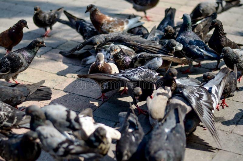 gołębie zdjęcia stock
