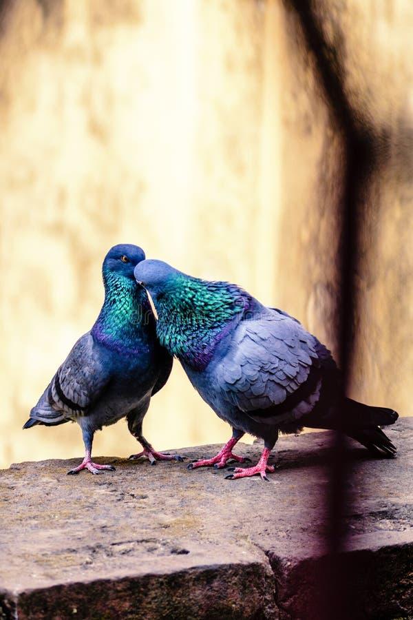 Gołębie całuje na wypuscie zdjęcie royalty free