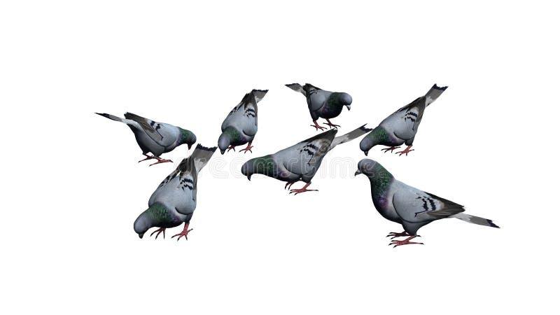 Gołębie grupują - odizolowywają na białym tle royalty ilustracja