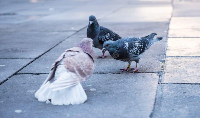 Gołębie i gołąbki zdjęcia royalty free