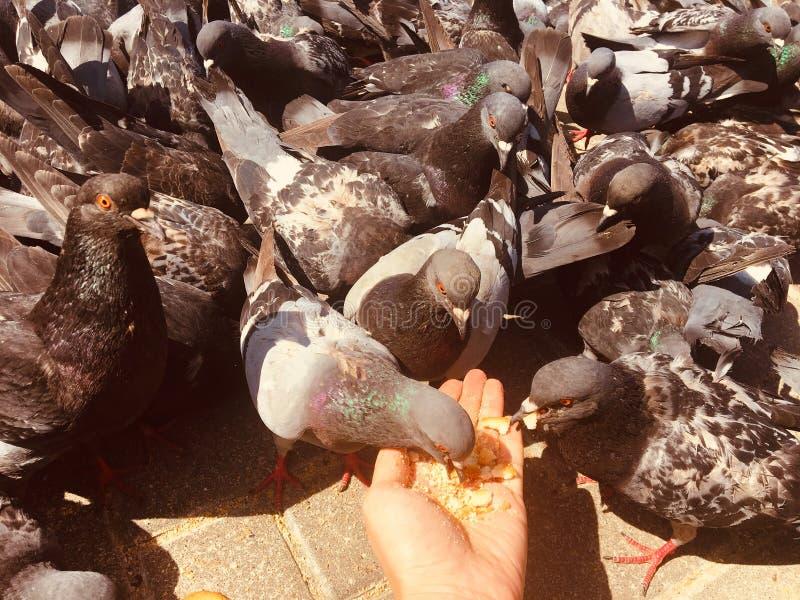 Gołębie i gołąbki na ulicie outdoors chodzi fotografia stock