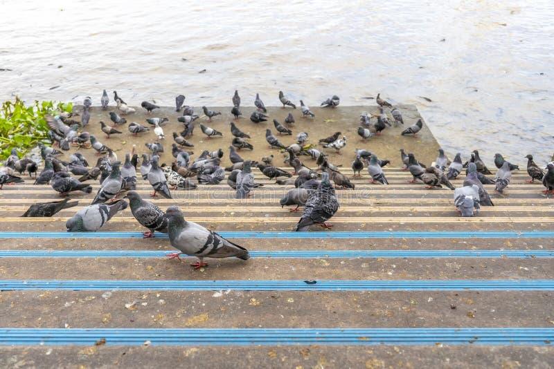 Gołębie jedzą mnóstwo jedzenie blisko rzeki zdjęcie stock